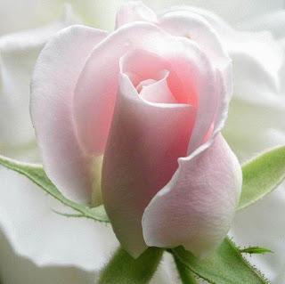 rosas-1